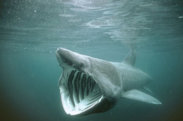 Basking Shark Mouth 55
